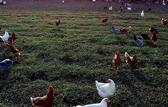 Chickens out at the farm-min